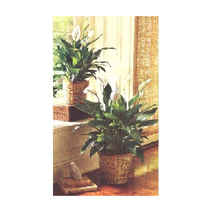 A Peace Lily or Spathiphyllum Plant