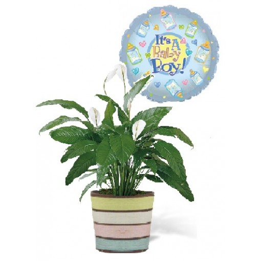A Peace Lily Baby Boy Plant Gift